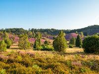 Landscape at Lueneburg Heath at full bloom, Lower Saxony, Germany