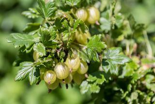 reife grüne Stachelbeeren am Strauch zur Ernetezeit - Nahaufnahme