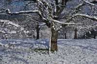 Streuobstwiese im Winter, meadow orchard in winter