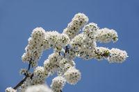 Close up white cherry blossom over clear blue sky
