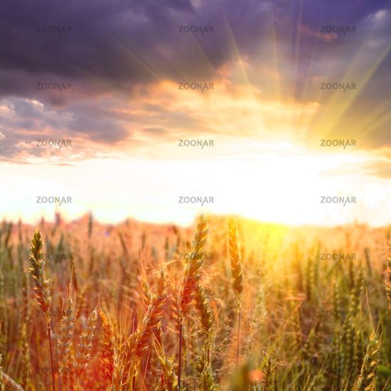 Wheat and sundown