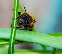 Macro of aNorthern white-tailed bumblebee