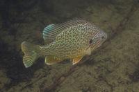 Sunfish in murky water