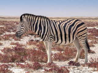Zebra in the Etosha National Park in Namibia.