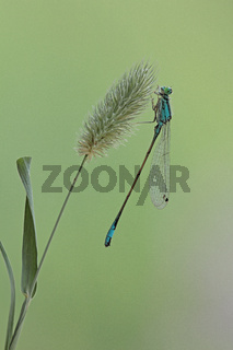 Azurjungfer (Coenagrion)