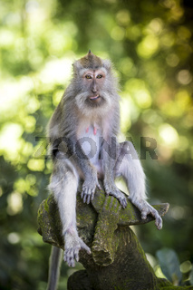 Monkey at Monkey Forest