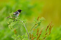 European stonechat (male) at Lake Neusiedl