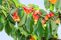 White ripe cherry berry fruits on the tree