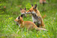 Adult red fox on the clearing with yawning cub and other cubs in the background