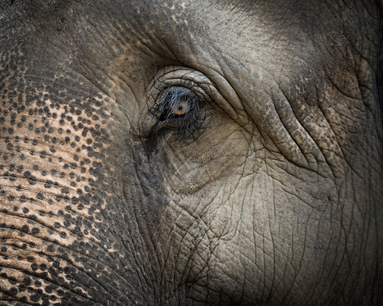 Closeup on elephant face