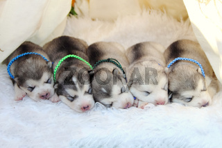 Little husky puppies are sleeping. dream of puppies.
