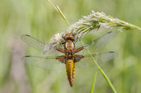 broad-bodied chaser 'Libellula depressa', female