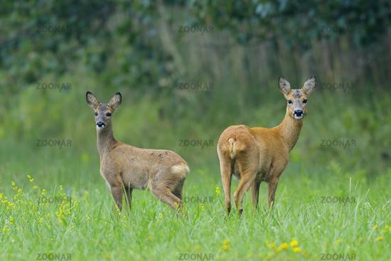 Roe deers, Germany
