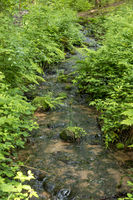 Small stream flows between ferns and reeds through a forest