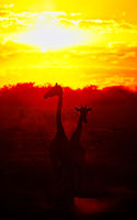 Giraffes at the sunset, Etosha National Park, Namibia, (Giraffa camelopardalis)