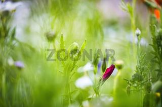 Eine rote Wildblume die kurz vor dem Erblühen ist