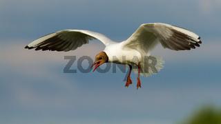 Black-headed gull flying in midair in summertime.