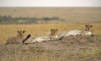 Three cheetahs, Acinonyx jubatus, Maasai Mara National Reserve, Kenya, Africa