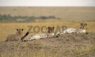 Three cheetahs, Acinonyx jubatus, Maasai Mara National Reserve, Kenya, Africa