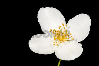 Blossom of philadelphus coronarius macro top view