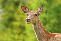 Close-up of red deer hind looking with interest in summer nature