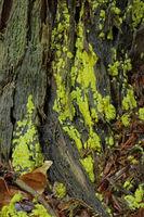 Slime fungus (Fuligo septica)