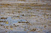 Kelp vor Cedros, Cedros Island