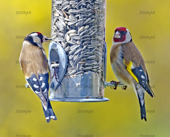 two European goldfinch on a  tube seed feeder