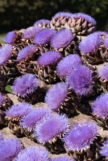 blühende distelartige Artischocke - Herz und Blüte