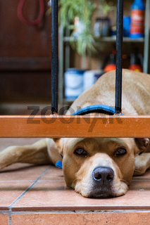 A lazy looking sleepy dog is lying on the floor of the veranda of a house in old Kakopetriain Cyprus