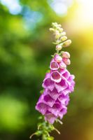 pink flower Foxglove - Digitalis Purpurea