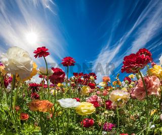 The blossoming garden buttercups