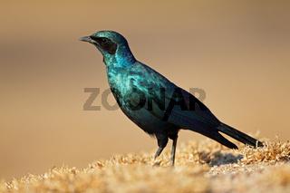 Burchells starling (Lamprotornis australis)