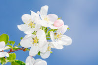 Flowering apple tree with white blossoms
