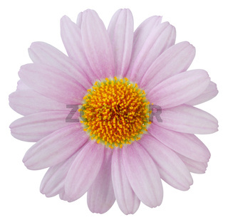 Wonderful pink Daisy (Marguerite) isolated on white background, including clipping path.