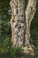 Park of Greiz - Tree trunk of a common beech