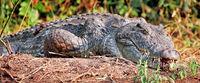 Nice crocodile, Murchison Falls National Park Uganda (Crocodylus niloticus)
