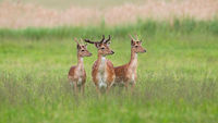 Three majestic fallow deer stags standing on meadow in summer.