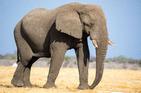 Elephant at Etosha National Park, Namibia