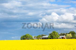 Farming fields of golden canols