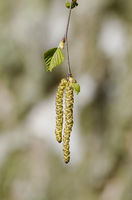 Betula, allergy hazard in spring, birch catkin in front of a birch tree in a blurred background