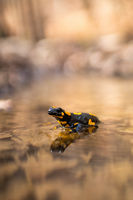 fire salamander standing in water sunlit by morning light