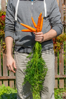 A young farmer holding in his hand a bunch of ripe carrots from his garden. Harvesting Organic Fersmer Vegetables