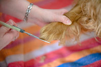 The paw of a dog is cut with scissors