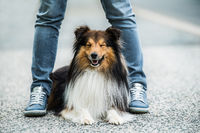 Sheltie dog between the legs of his owner