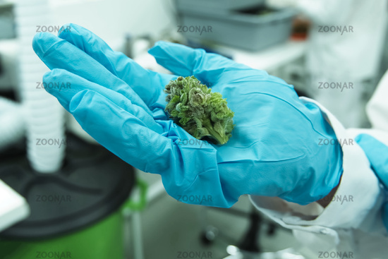 tips of cannabis inflorescences in cannabis in the hands of a laboratory assistant. Marijuana in the hand.