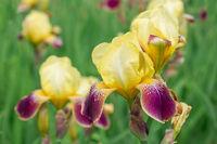 Flowers yellow irises bloom in the garden in the garden