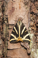 Brown bear moth sits on the bark of a tree trunk