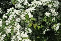 20200506_Crataegus monogyna, Eingriffliger Weißdorn, Common Hawthorn003.jpg