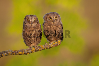 Siblings of eurasian scops owl sitting united on in spring with green background